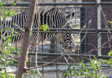 Spot the zebra - Berlin zoo